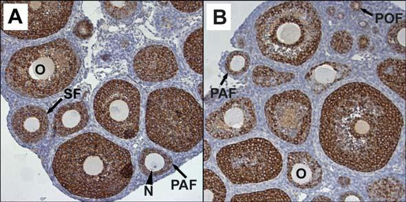 Figure 1. Immunohistochemistry for inhibin-α proteins in the γ-irradiated immature mouse.