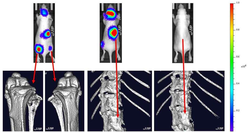 Reduction of mbc-induced Osteolysis by DN10764 (CT Imaging)