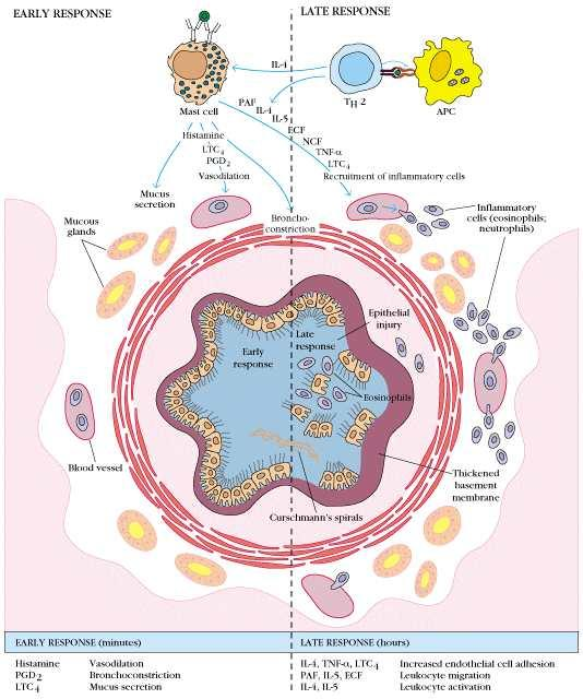 IL-4, IL-5, IL-6 INF-α, eosinophil chemotactic factor (ECF), platelet-activative factor(paf) 들이관여한다.