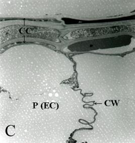 (B, x1,670) and the thinned cell wall (C, x1,670) in peeling-off