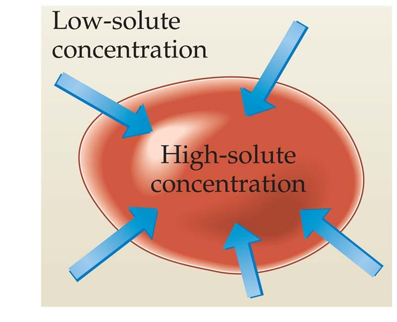 Osmosis in Cells If the solute concentration outside the cell is less than that inside the