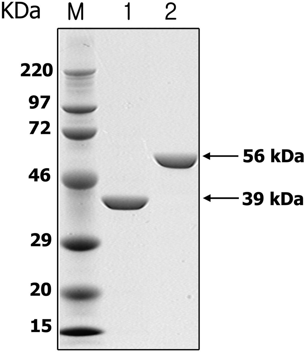P Fig. 3. SDS-PAGE analysis of the purified yeast G247S proteins.