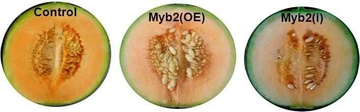 A) Transgenic melon growth in the GMO greenhouse, B) and C) ripening difference