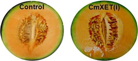 A) Transgenic melon growth in the GMO