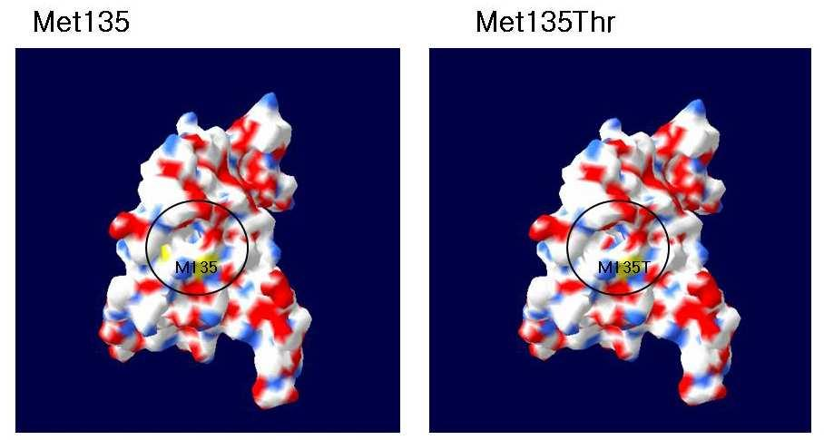 Figure 5. The Structure of TβRⅡ: codon 135 missense mutation.