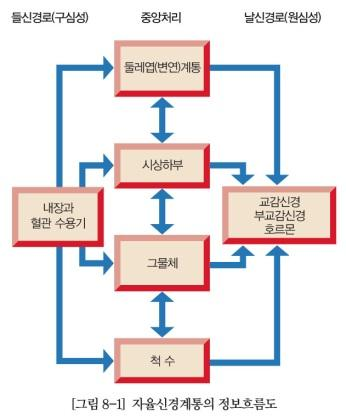 EFFERENT PATHWAY( 날신경로 ) Sympathetic & Parasympathetic Two-neuron pathway 2 neurons synapsing in a peripheral ganglion 1) preganglionic( 신경절이전 -, 절전 -): CNS 에서시작 2) postganglionic( 신경절이후 -, 절후 -)